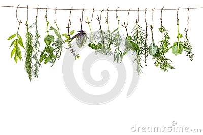 Fresh flovouring and medicinal plants and herbs hanging on a string, in front of a white backgroung