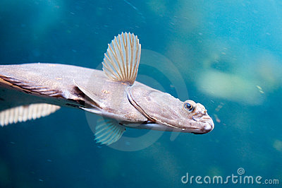 Swimming flatfish
