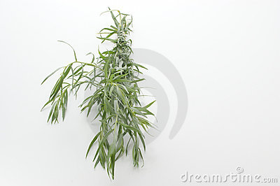 tarragon on a white background
