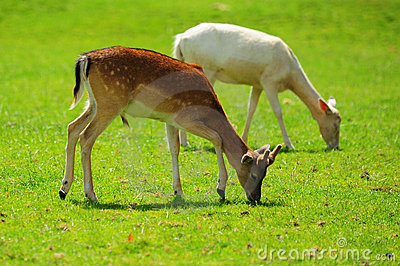 Antelopes grazing
