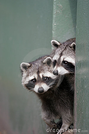 Pair of raccoons