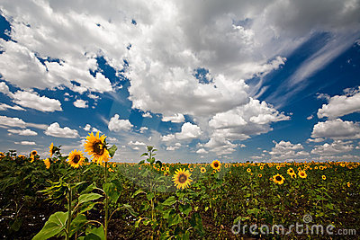 Sunflowers, clouds and blue sky