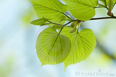 Branch of linden tree.