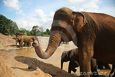 Elephant at the bank of river