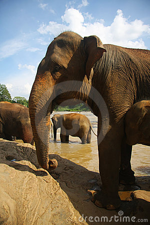 Elephants at the bank of river