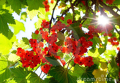 Branch with fresh red currant fruit