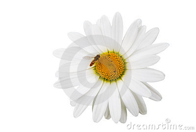 Chamomile flowers with the bee