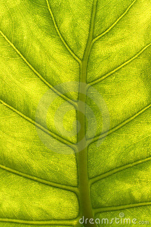 Green leaf with veins macro
