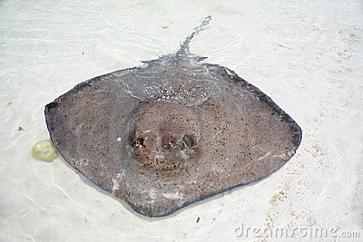 Stingray in a shallow water