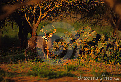 Whitetail Buck Near Cactus