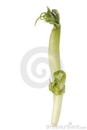 Bean Sprout Macro Isolated
