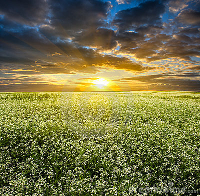 Sunset over blooming white field