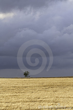 Wheat and thunder