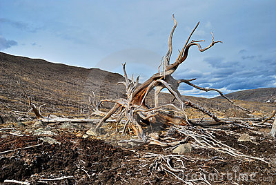Roots of dead tree