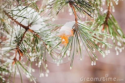 Winter begins. Autumn yellow maple leaf stuck on a pine-tree branch under first freezing rain