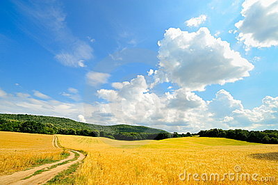 Cereal field in summer