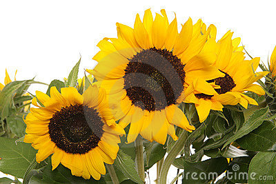 Sunflowers close up