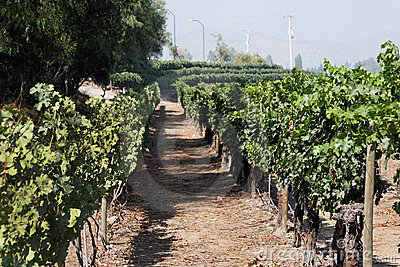 Cabernet Sauvignon Vineyard Chile