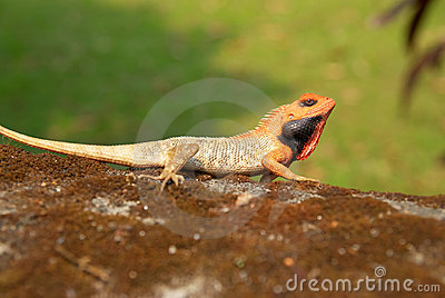Orange-headed agama