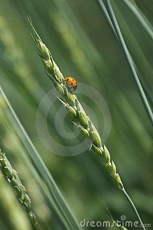 Ladybird on the wheat ear