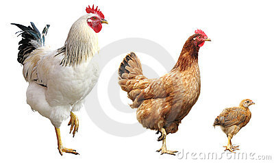 Rooster, hen and chicken, isolated