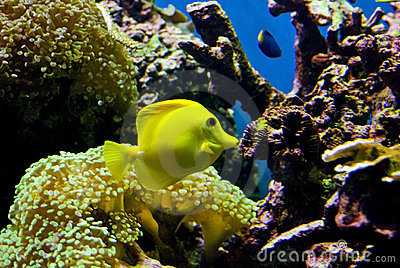 Yellow fish in reef