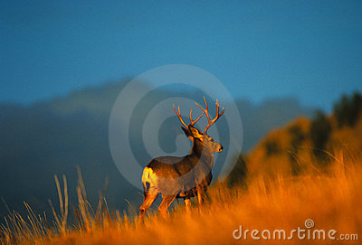Mule Deer Buck on Ridge