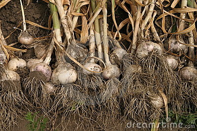Fresh garlic with roots