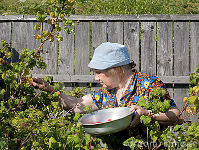 Old woman collects berries