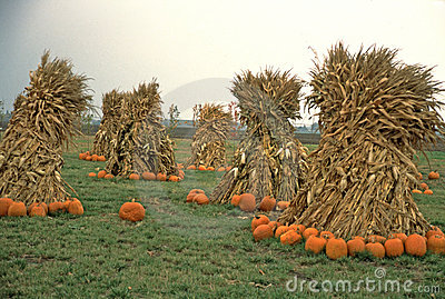Farmer's Field of Pumpkins & Cornstalks