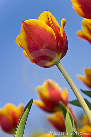 Beautiful flower red and yellow tulips