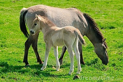 Two horses on a meadow, mare and her foal