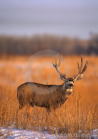 Mule Deer Buck in Field