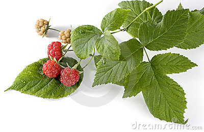 Red raspberries on the branch
