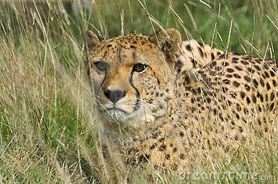 Cheetah in Tall Grass