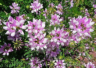 Crown vetch (Coronilla varias)