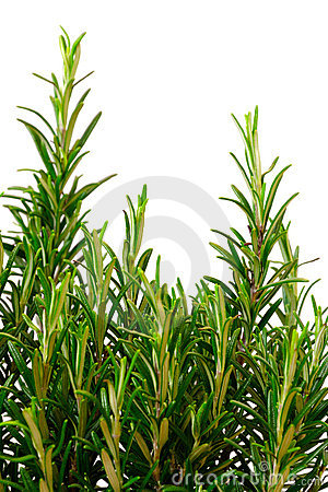 Isolated rosemary bush