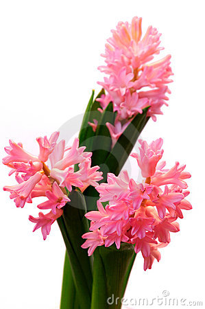 Isolated group of three pink hyacinth