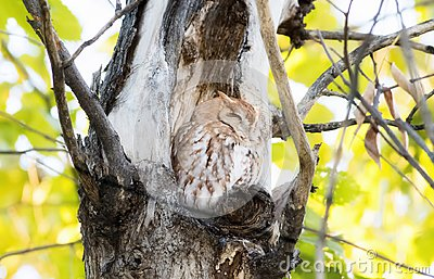 Eastern Red Morph Screech-Owl Megascops asio in Ash Tree