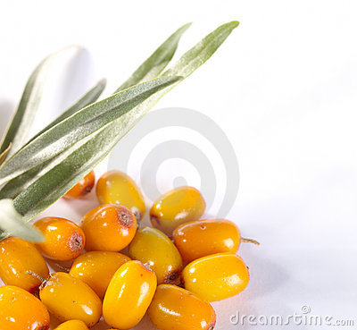 Fres sea buckthorn berries with leafs