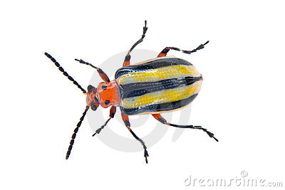 3-lined Potato Beetle