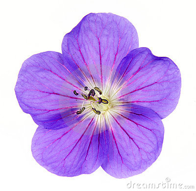 Cranesbill Close-up