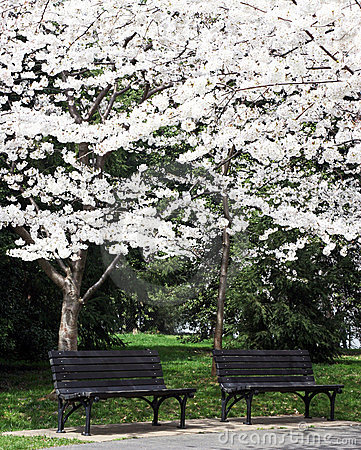 Benches Under the Blossoms