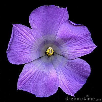 Lilac hibiscus flower