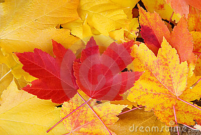 Red and Yellow Maple Leaves Fall Background