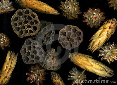 Lotus pods and seeds