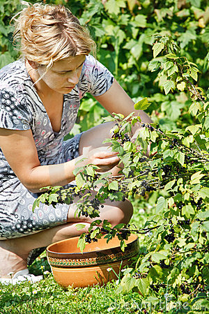 Woman picking fresh black currant