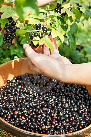 Picking fresh  black currant
