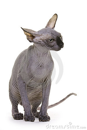 Hairless Cat, Sphynx