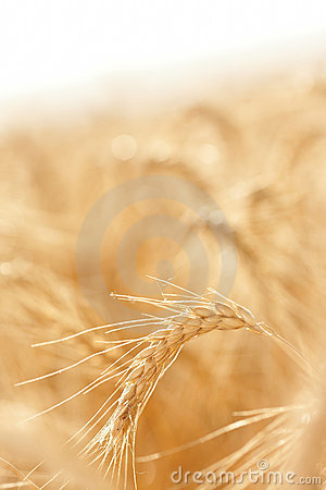 Golden field of grains